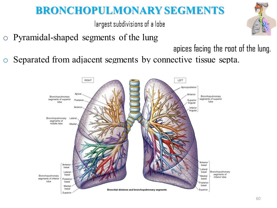 Unique Lung Segments Picture Collection - Anatomy And Physiology ...