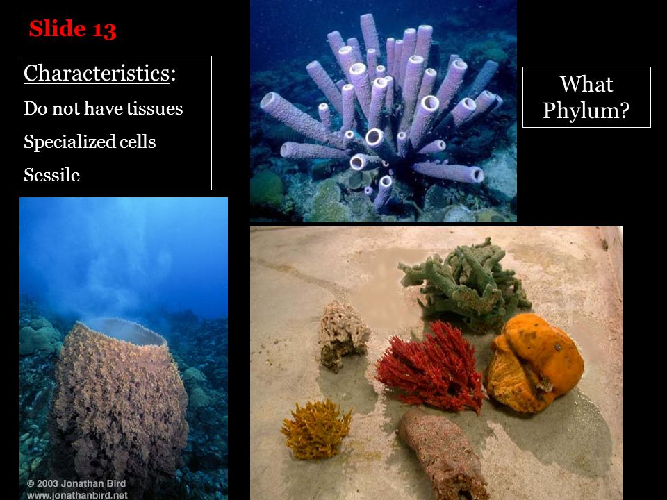 Slide 13 Characteristics: What Phylum Do not have tissues
