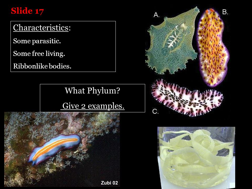 Slide 17 Characteristics: What Phylum Give 2 examples.