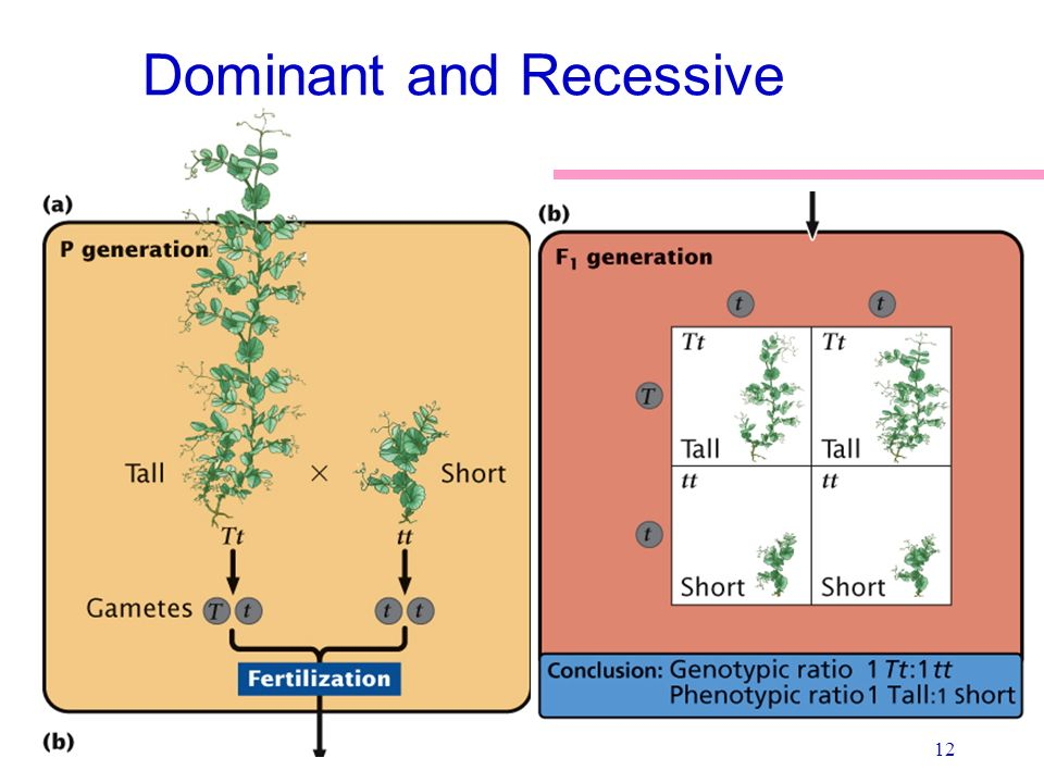 Dominant Recessive what are dominant and ...