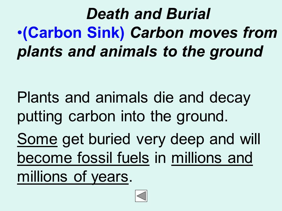 Death and Burial (Carbon Sink) Carbon moves from plants and animals to the ground. Plants and animals die and decay putting carbon into the ground.
