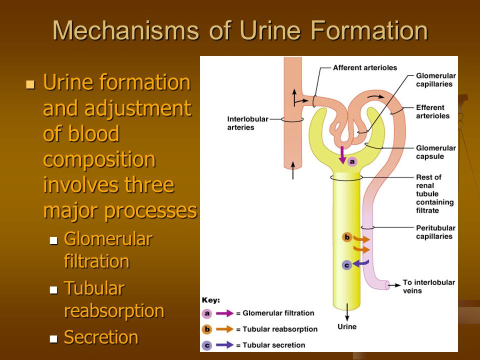 mechanisms for reabsorbtion essay Proximal tubular reabsorption normally, about 65 per cent of the filtered load of sodium and water and a slightly lower percentage of filtered chloride are reabsorbed by the proximal tubule before the filtrate reaches the loops of henle.