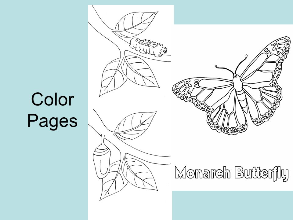 Monarch Coloring Page 2