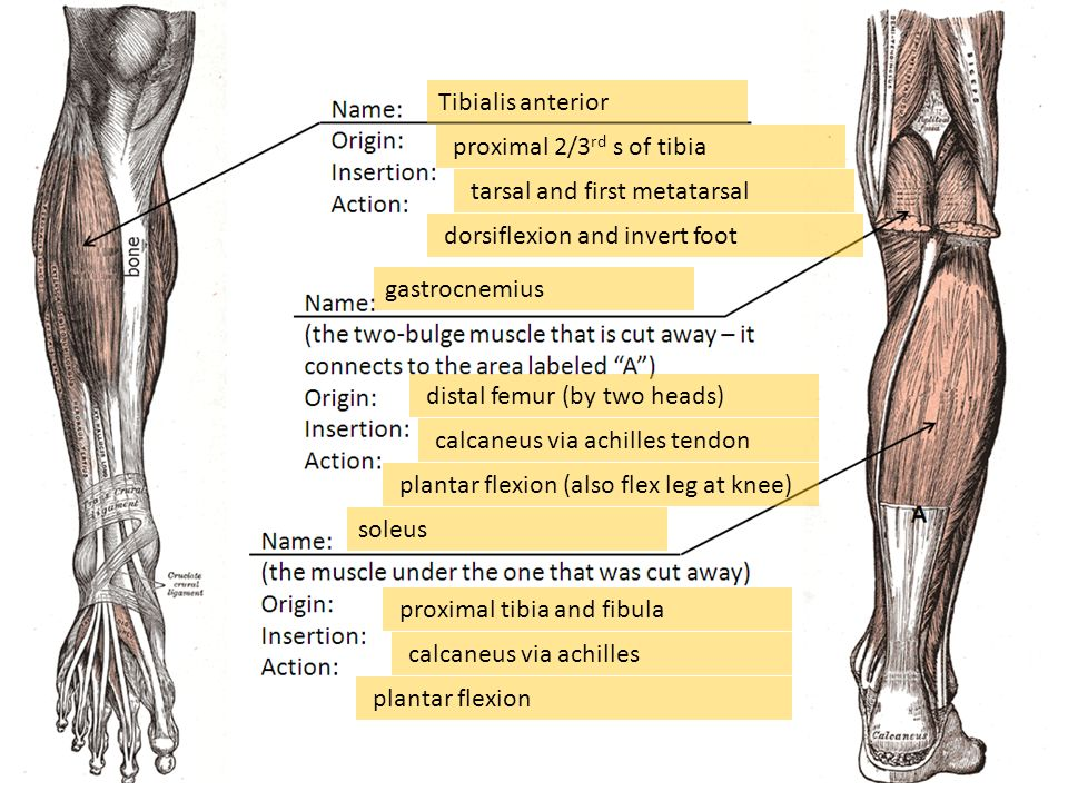Quiz 4 Practice – Muscles of the lower arm and lower leg ...