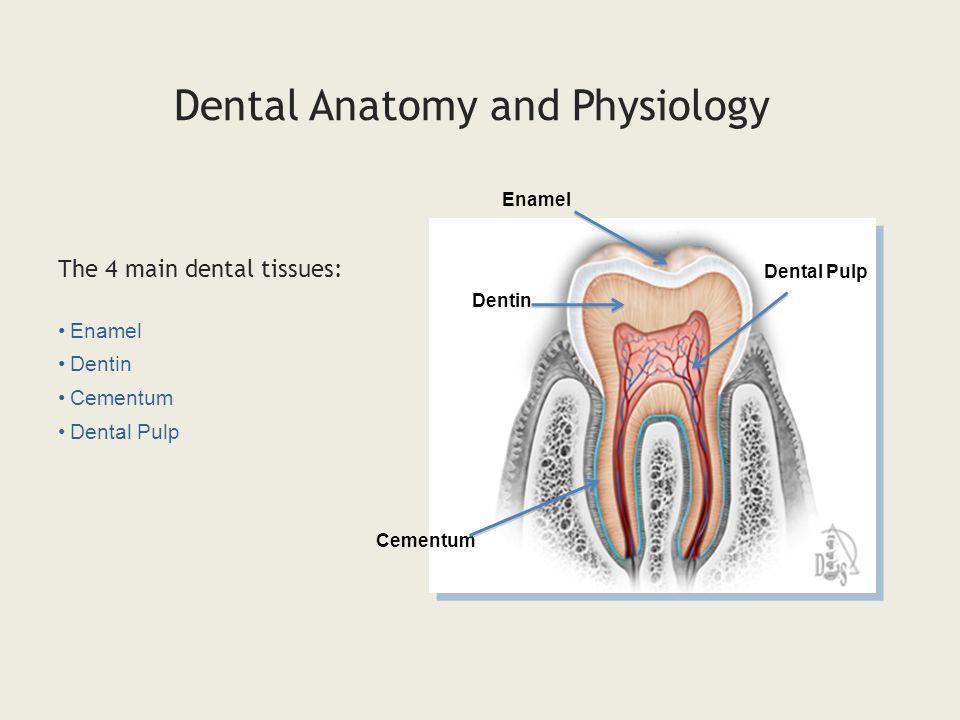 Magnífico Dental Anatomy And Physiology Pdf Molde - Anatomía de Las ...