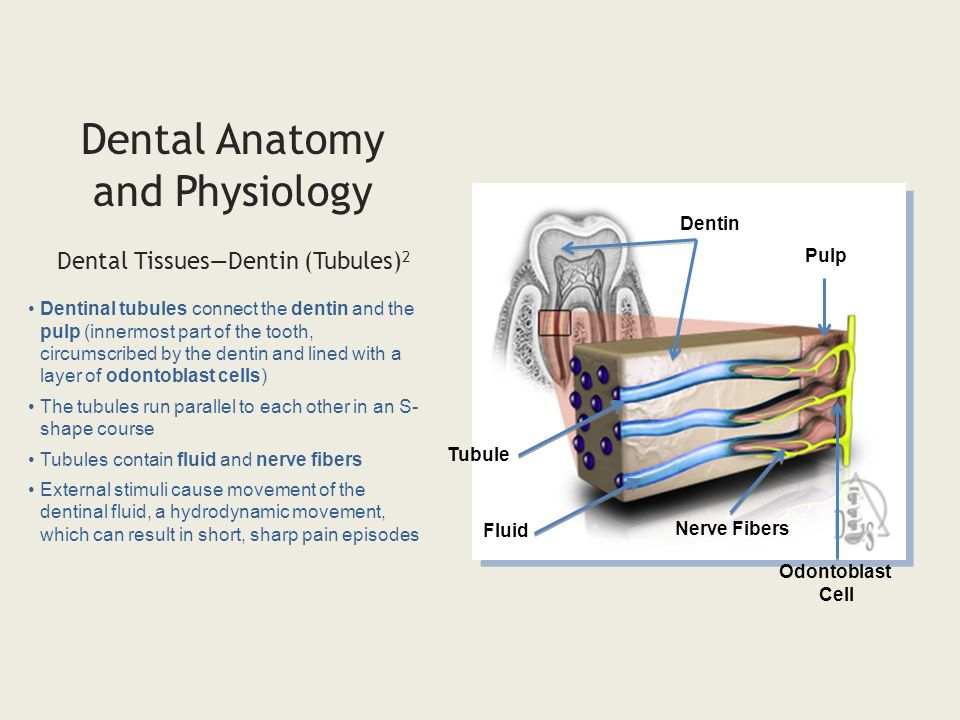 Outstanding Dental Anatomy And Physiology Pdf Sketch - Anatomy And ...