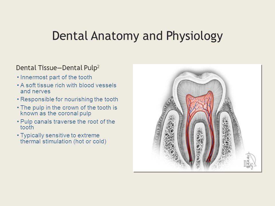 Nice Dental Pulp Anatomy Composition - Anatomy And Physiology ...