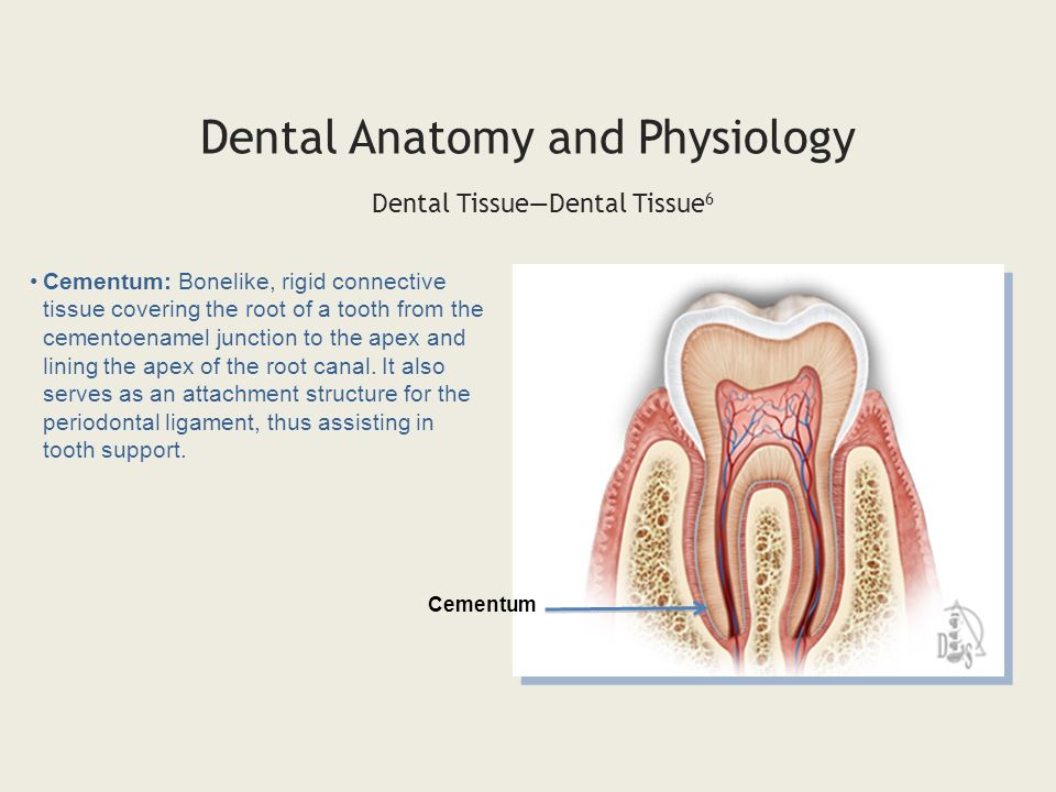 dental anatomy exam 1 physiology mouth Study Sets and - dinocro.info