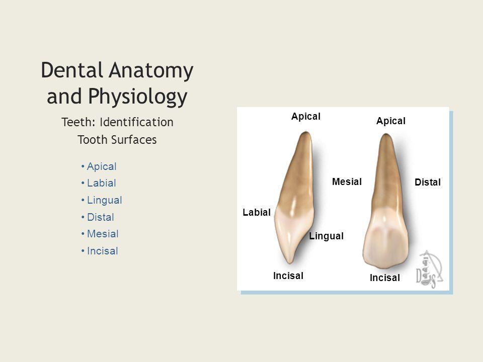 Gemütlich Tooth Identification Dental Anatomy Ideen - Menschliche ...