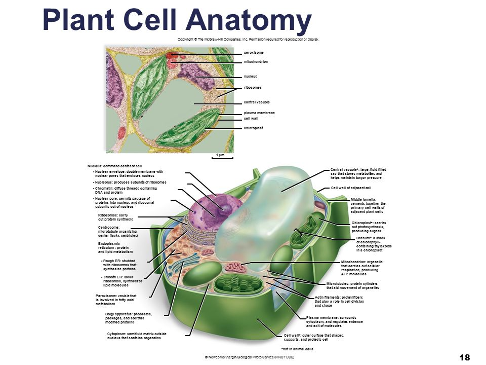 Cell anatomy and function