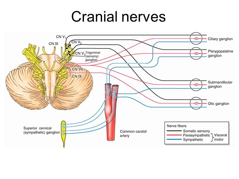 Mixed cranial nerves ppt video online download – Cranial Nerves Worksheet