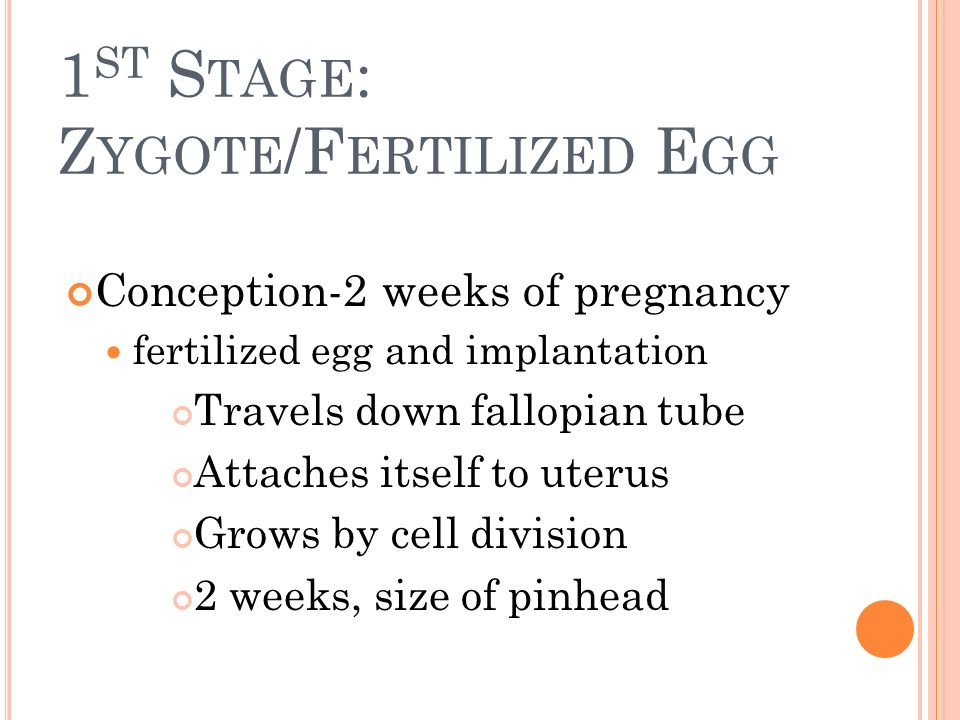 1st Stage: Zygote/Fertilized Egg