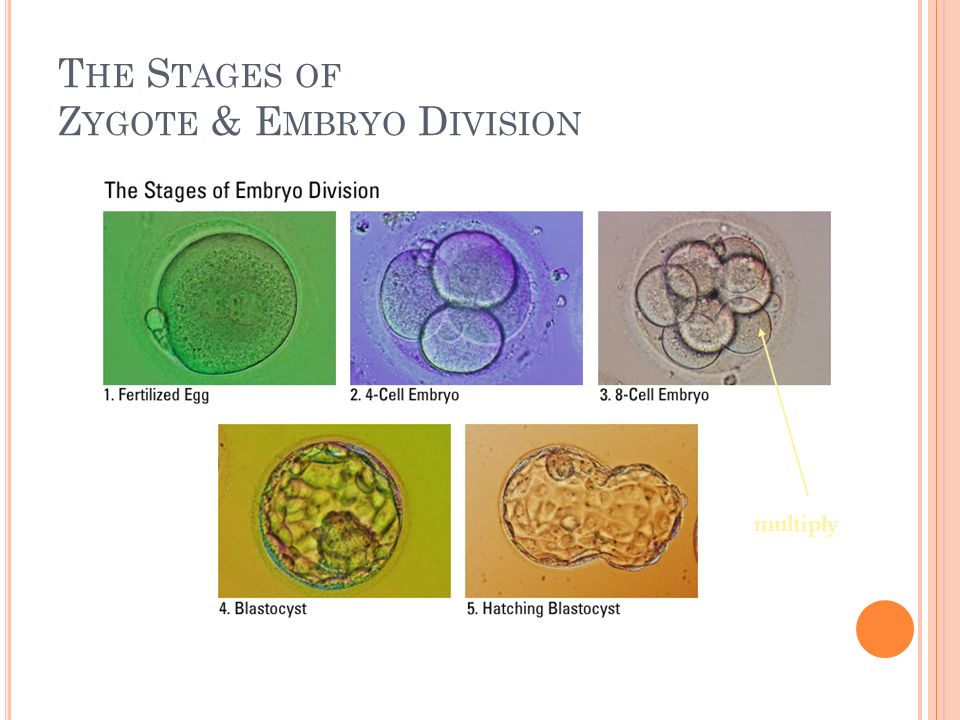 The Stages of Zygote & Embryo Division