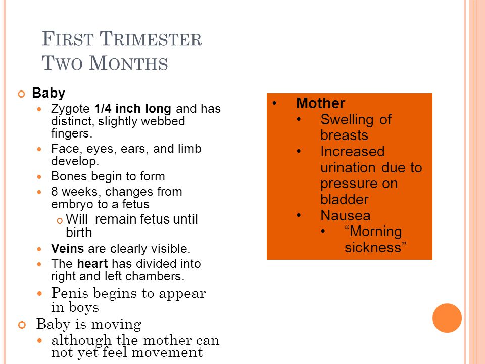 First Trimester Two Months