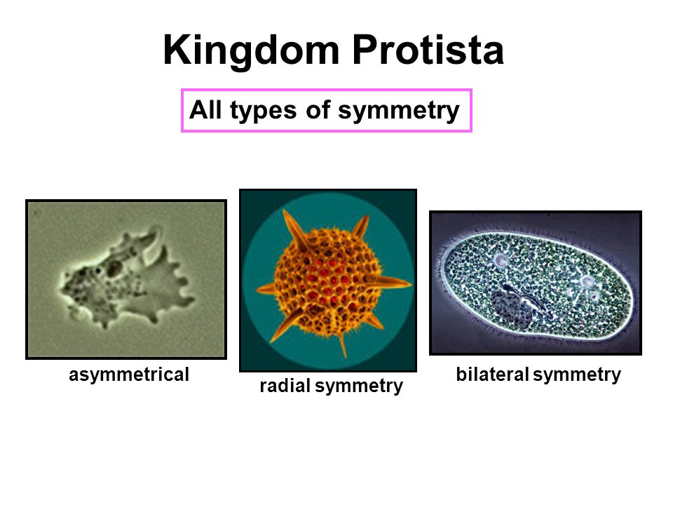 "Kingdom Protista the ""protists"" - ppt video online download"
