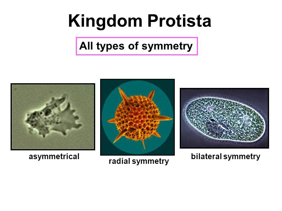 "Kingdom Protista the ""protists"" - ppt video online download"