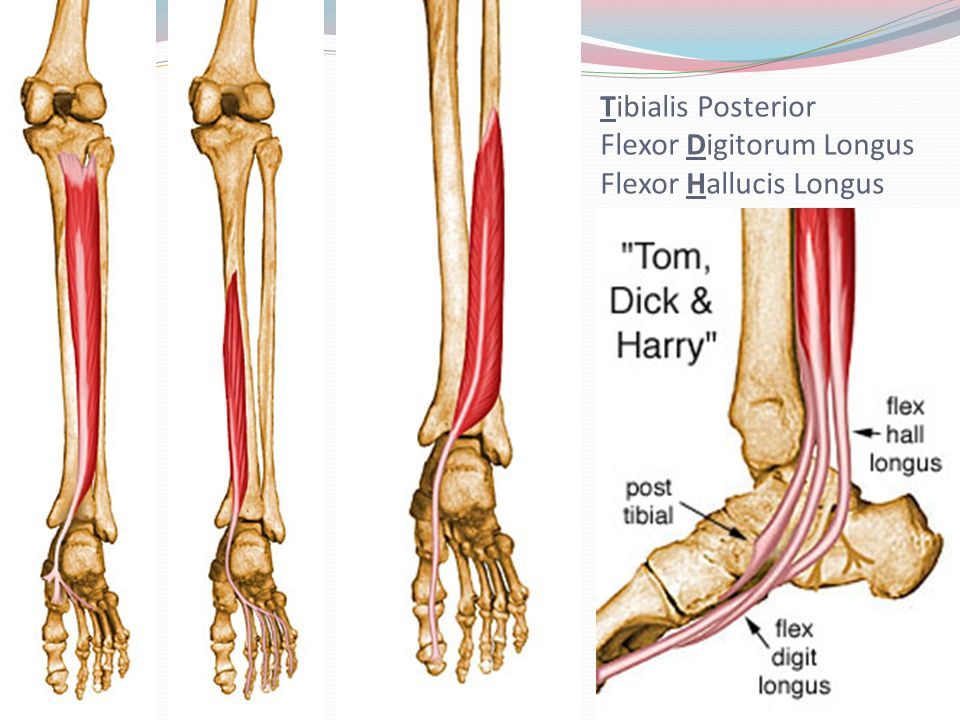 flexor digitorum longus cat | info, Cephalic Vein