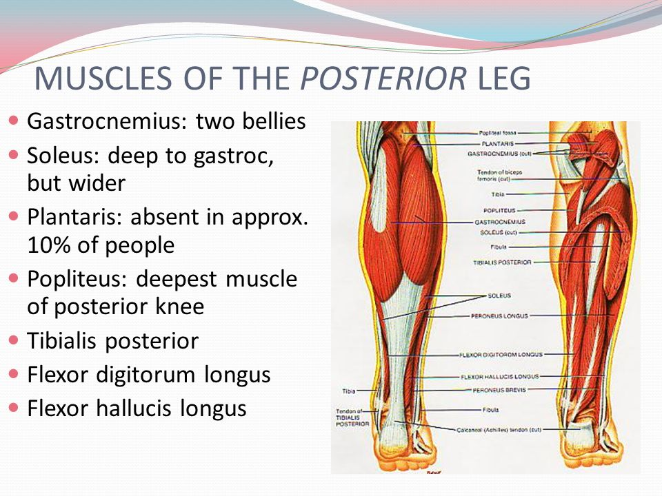Posterior leg muscle anatomy