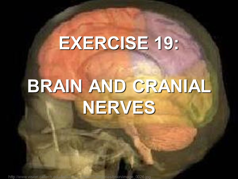 EXERCISE 19: BRAIN AND CRANIAL NERVES - ppt video online download
