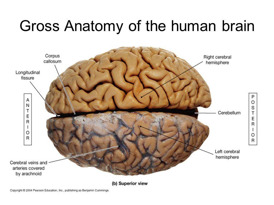 Brain anatomy Britannicacom - dinocro.info