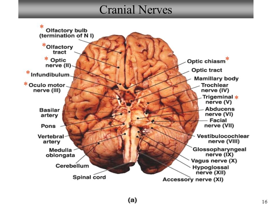 Exercise 17 Review Sheet Gross Anatomy Of The Brain And Cranial
