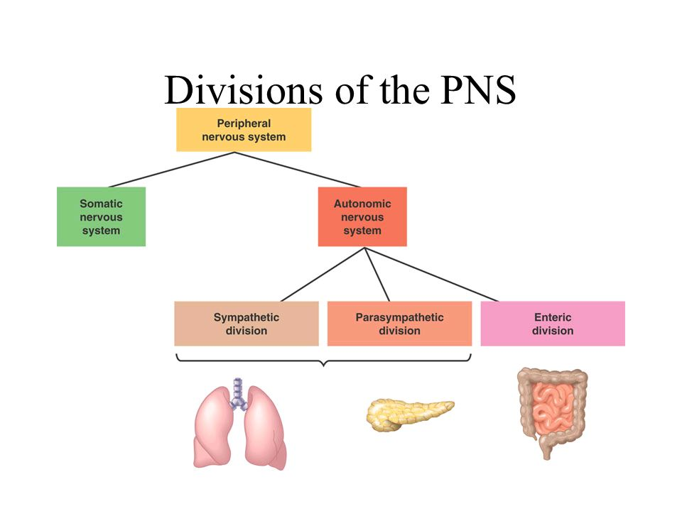 Nervous System Chapters 48 And Ppt Video Online Download