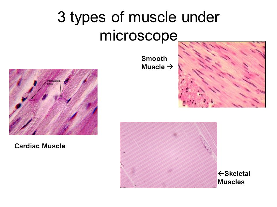 Musculature System. - ppt video online download