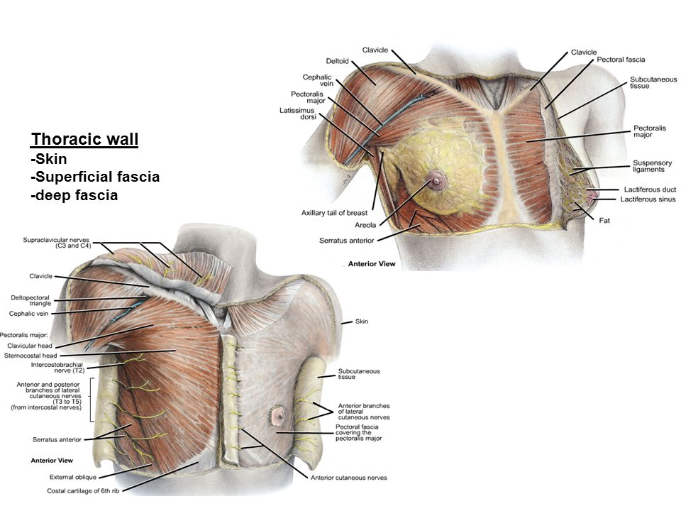 Thoracic wall -Skin -Superficial fascia -deep fascia. - ppt video ...