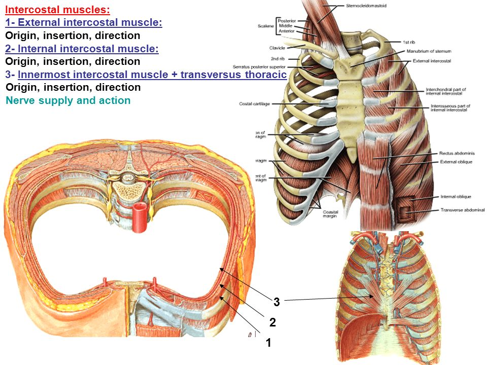Thoracic wall -Skin -Superficial fascia -deep fascia ...