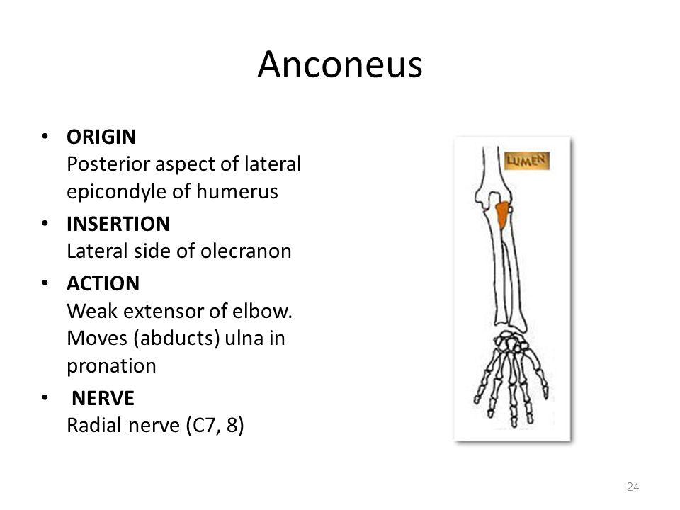 Wunderbar Anconeus Ideen - Menschliche Anatomie Bilder ...