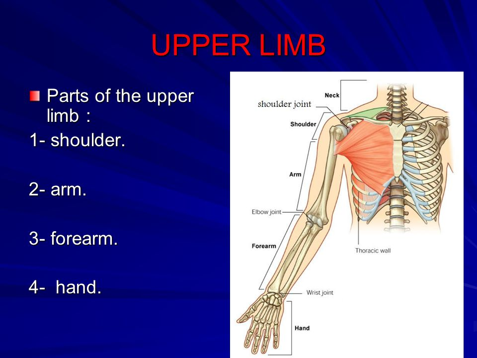 UPPER LIMB Parts of the upper limb : 1- shoulder. 2- arm. 3- forearm ...