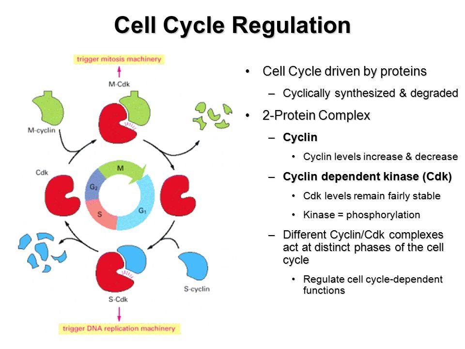 Cell cycle regulators article Khan Academy