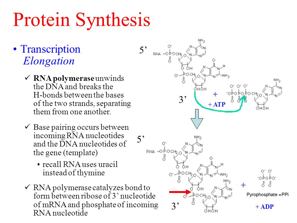 dna replication and protein synthesis Biology cp study guide (dna, rna, & protein synthesis) answer key - free download as word doc (doc), pdf file (pdf), text file (txt) or read online for free.