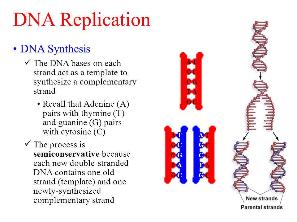 Dna replication and protein synthesis ppt video online for What is a template in dna