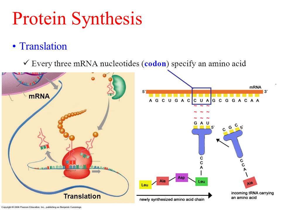 protein sythesis Abstract muscle protein synthesis (mps) is the driving force behind adaptive responses to exercise and represents a widely adopted proxy for gauging chronic efficacy of acute interventions, (ie exercise/nutrition) recent findings in.