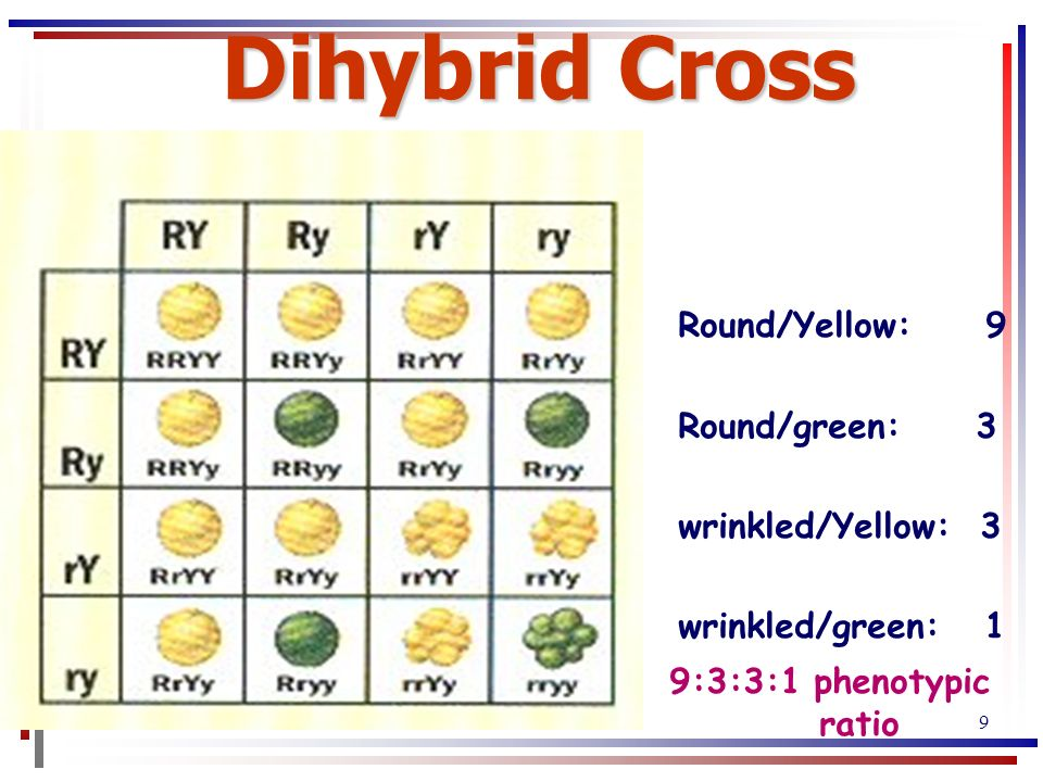 Inheritance of Two Traits: Dihybrid Crosses - ppt download