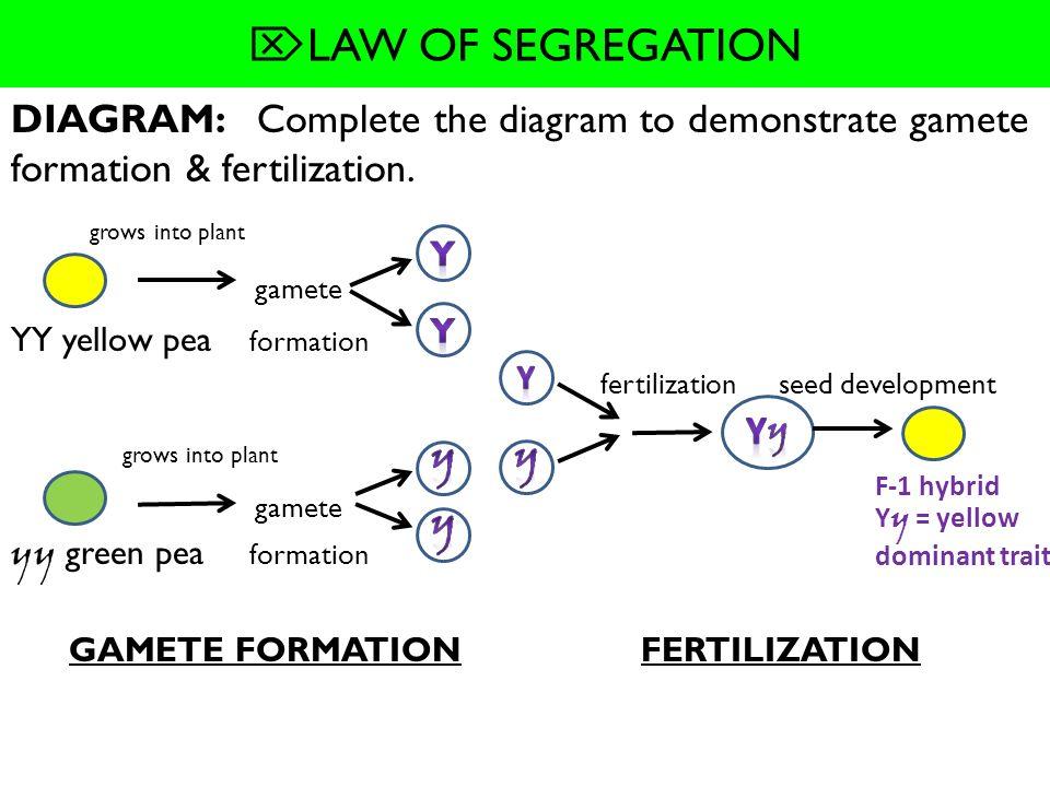 WHAT YOU WILL LEARN 10.2 MENDELIAN GENETICS -Law of ...