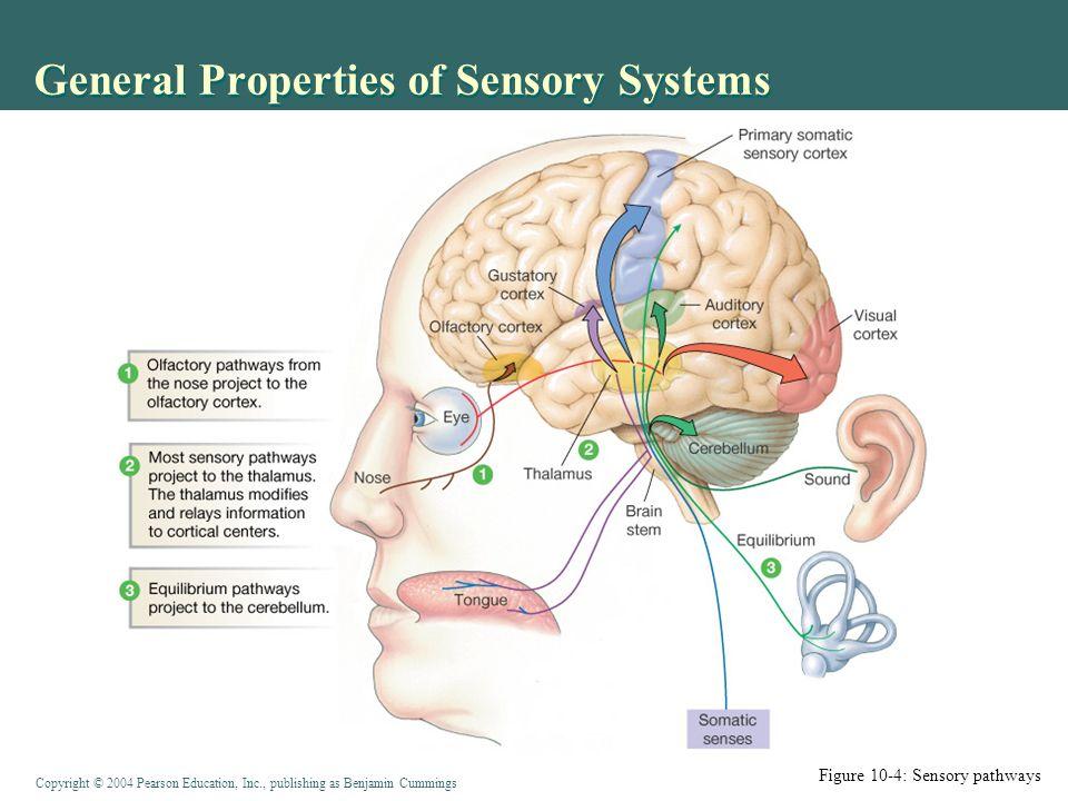 Bonito Sensory Systems Anatomy And Physiology Friso - Anatomía de ...