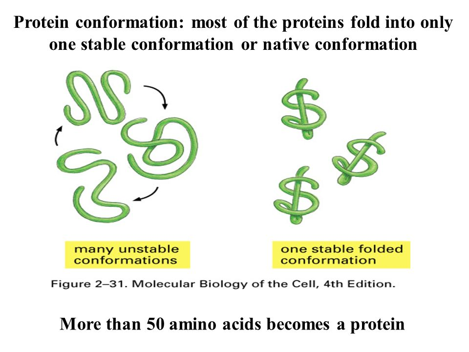 relationship between amino acid sequence and protein conformation