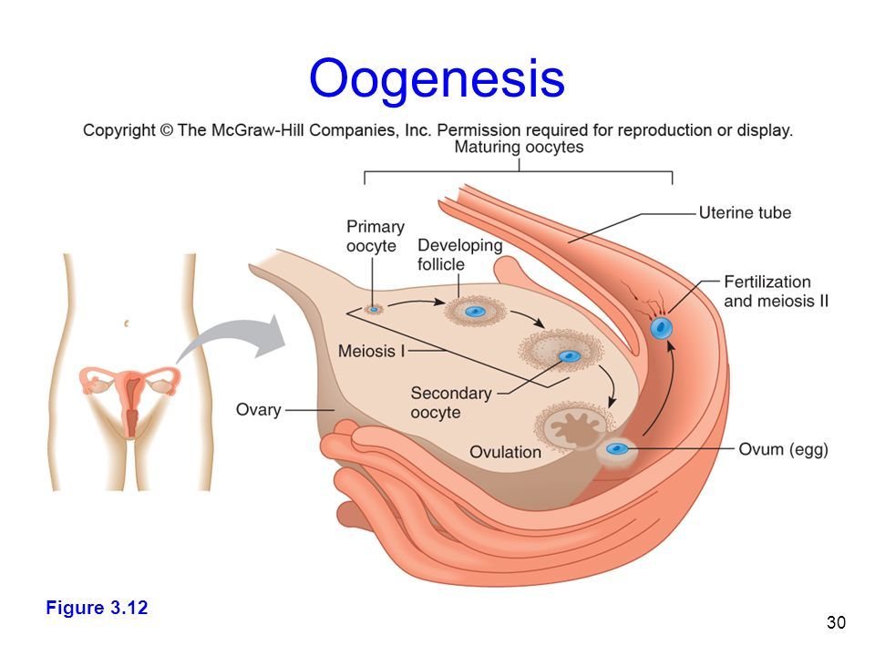 Oogenesis Slide Stages of the Human Li...