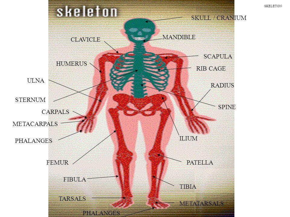 Skull Cranium Mandible Clavicle Scapula Humerus Rib Cage Sternum