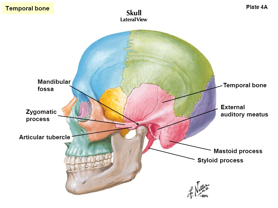 bones of the skull. - ppt video online download, Human Body