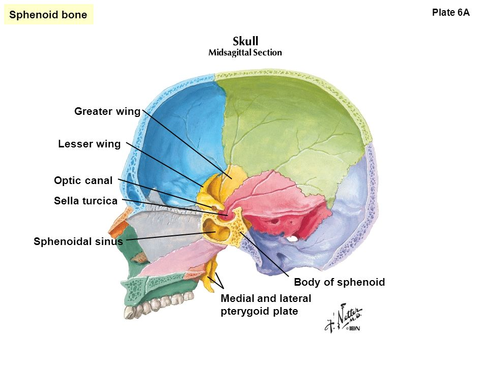 Bones of the Skull. - ppt download