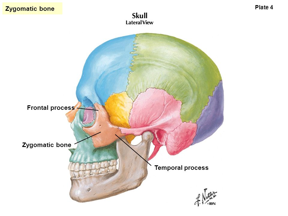 suggestions online | images of temporal process of the zygomatic bone, Human Body