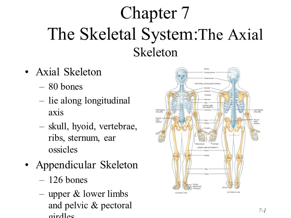 Chapter 7 The Skeletal Systemthe Axial Skeleton Ppt Video Online