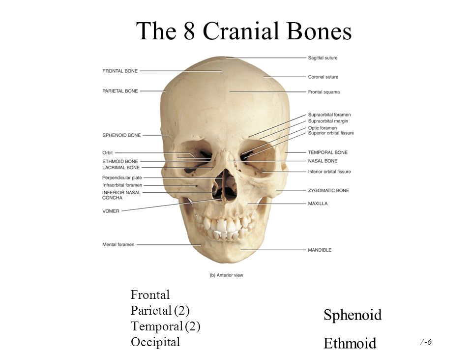 chapter 7 the skeletal system:the axial skeleton - ppt video, Human Body