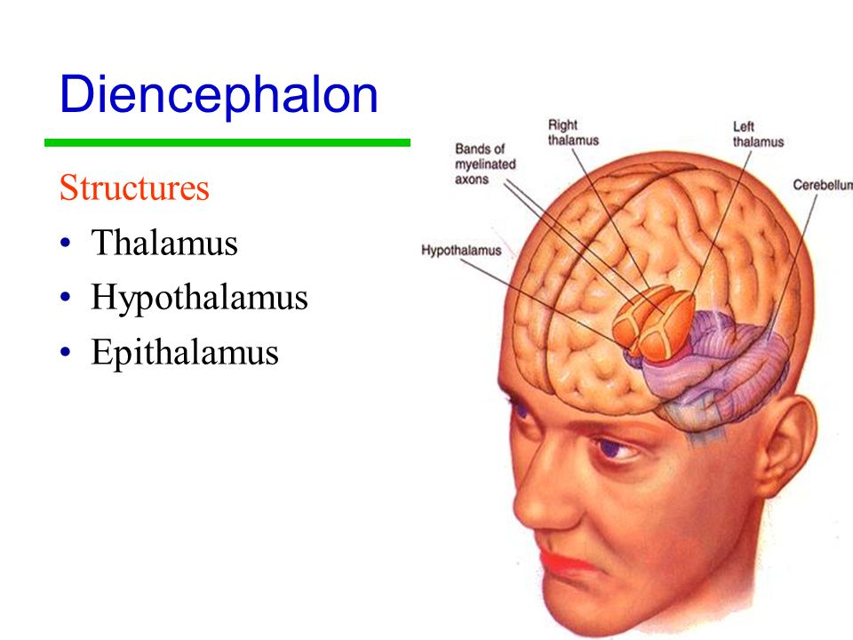 epithalamus diagram - photo #26