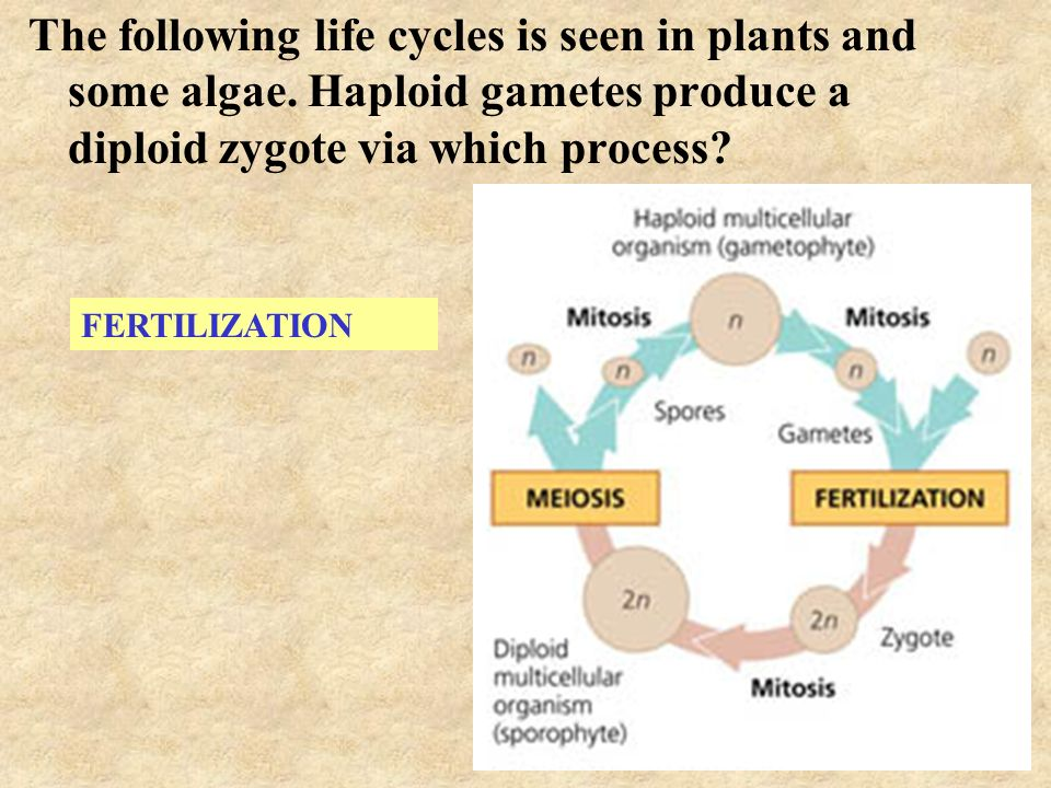 Mitosis/Meiosis How are they different? - ppt video online download