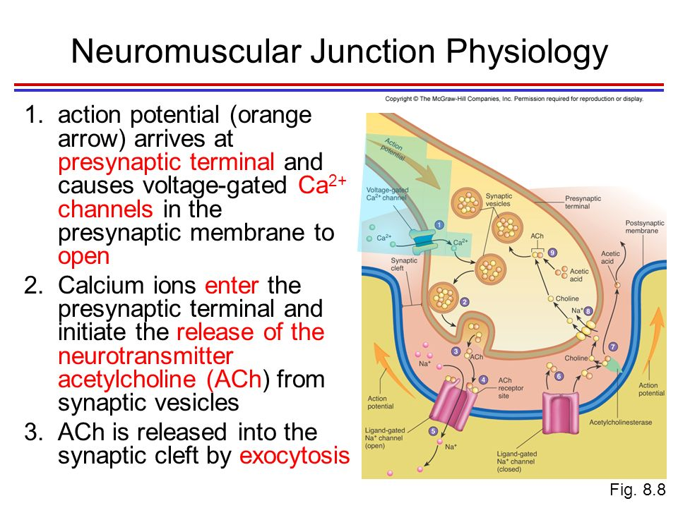 Histology and Physiology of Muscles - ppt video online ...