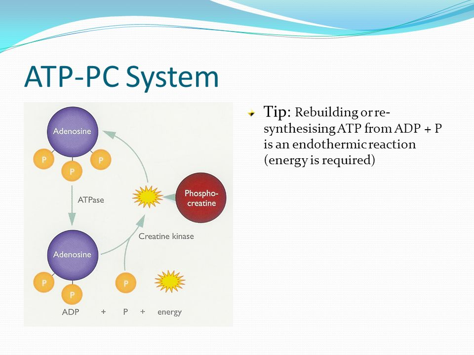 the atp-pc system resynthesis Energy systems our bodies need energy to function, atp is our bodies energy currency the body must resynthesis atp for it to function, like all engines it needs fuel, this comes from the food we eat.